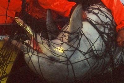 Toter Bleifarbener Delfin wird aus einem Hainetz geborgen.