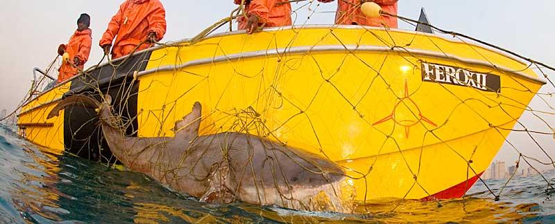 Toter Bullenhai wird aus Hainetz geborgen.
