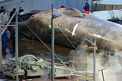 Isländische Walfänger töten einen Blauwal.