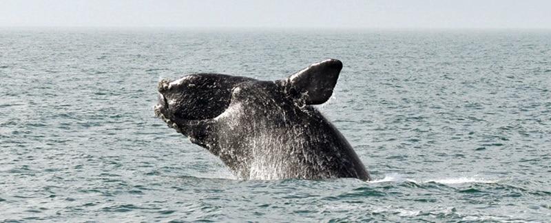 MSC-Fischereien rotten Nordatlantische Glattwale aus