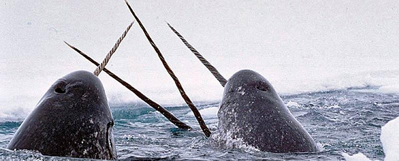Inuit töten Narwale zum Spass