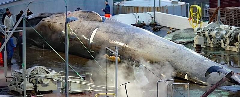 Isländische Walfänger schlachten seltenen Hybridwal.