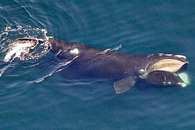Ein Nordatalantischer Glattwal oder Nordkaper. Foto: NOAA Fisheries