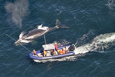 Nordatlantischer Glattwal wird von Fischereigerät befreit.