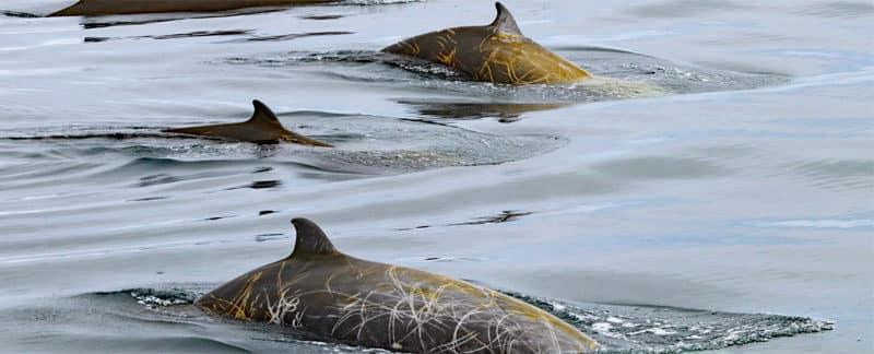 Drei Cuvier-Schnabelwale.