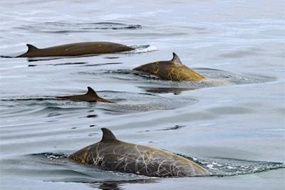 Auch nach einem Tauchrekord benötigen Cuvier-Schnabelwale nur kurze Erholungsphasen.