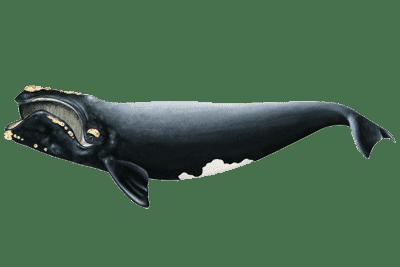 Zeichnung Nordkaper von NOAA Fisheries.