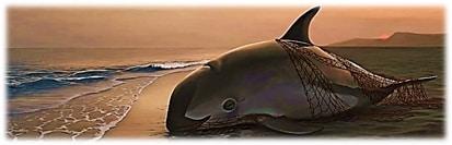Zeichnung Vaquita-Schweinswal.