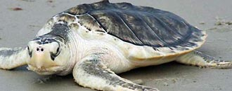 Artenporträt Atlantische Bastardschildkröte