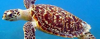 Artenporträt Echte Karettschildkröte