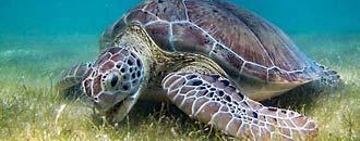 Artenporträt Grüne Meeresschildkröte