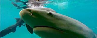 Bullenhaie in Fidschi