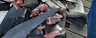 Großbritannien verbietet Haiflossenhandel