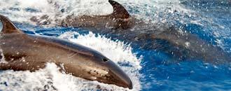 Kleiner Schwertwal