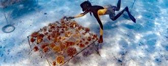 Korallenrestauration – Philippinen