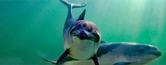 Nordsee: Immer weniger Schweinswale