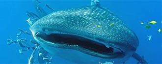 Bedrohte Riesen: Walhaie