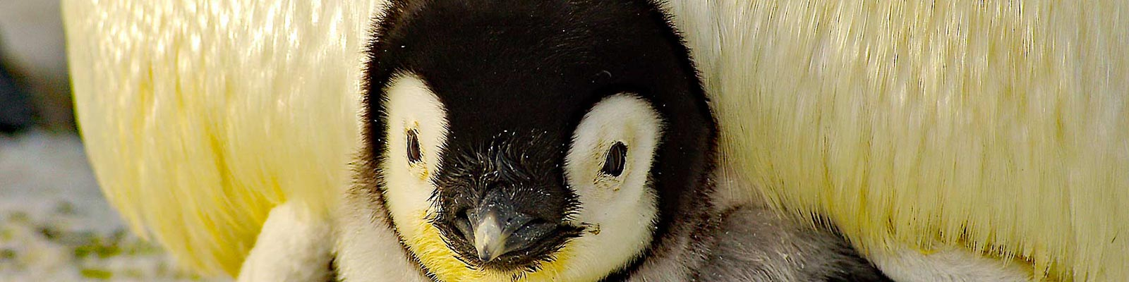 Pinguinküken.