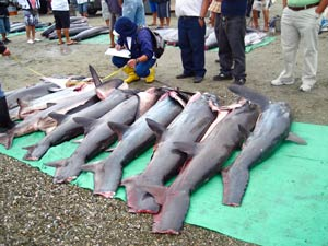 Sharks lined up for finning in Manta, Ecuador.