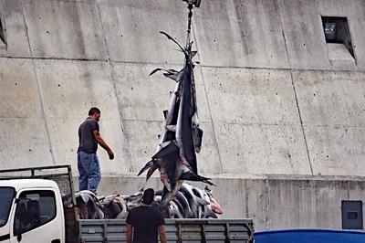 Anlandung von toten Haien auf den Azoren.