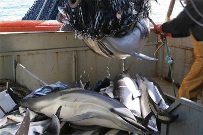 Tote Streifendelfine auf einem Fischkutter. Foto von Blue Planet Society