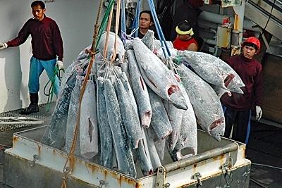 Gefrorener Thunfisch wird umgeladen.