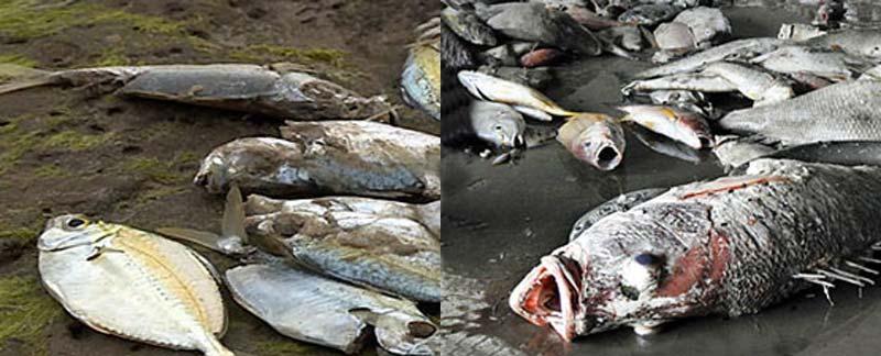 Fischsterben und Umweltkatastrophe in Vietnam.