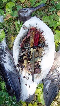 Junger Albatros mit 306 Plastikteilen im Magen.