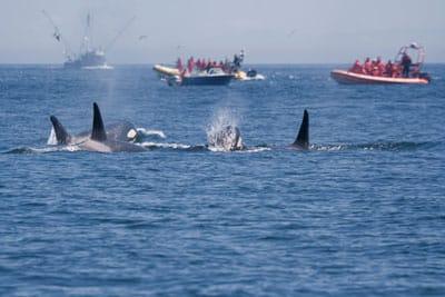 Hündin Eba hilft bei der Orcaforschung: Beobachtung von Orcas vor San Juan Islands USA