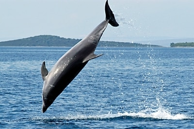 Große Tümmler ist die häufigste Art unter einzelgängerischen Delfinen