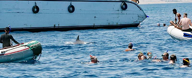 Von Touristen und Zodiacs eingekreister Delfin bei Hurghada.
