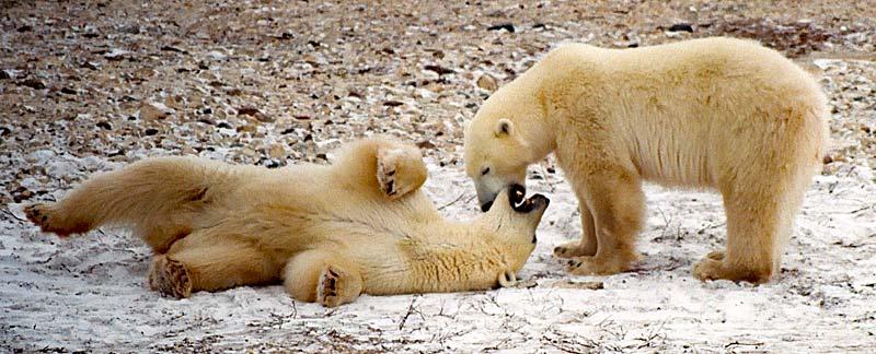 Zwei Eisbären spielen im Schnee.